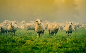 Картинка поле, туман, овцы