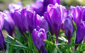 Картинка фиолетовый, весна, крокусы