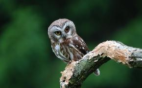 Обои сова, птица, ветка, глазастая, owl