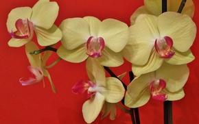 Обои орхидея, Фаленопсис, экзотика
