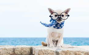 Картинка собака, шарф, очки, чихуахуа, пёсик, собачонка