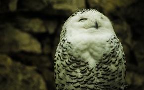 Картинка природа, обои, Сова, белая, white, полярная, owl, глаза. перья