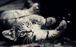 Обои глаза, кот, фото, шерсть, мордочка, черно-белое