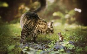 Обои кот, встреча, бурундук, боке, грызун, Мейн-кун, знакомство