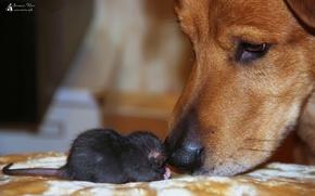Картинка животные, Собаки, крысы, домашние животные