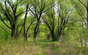 Картинка зелень, лес, Весна, ивы, Сибирь
