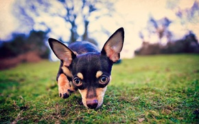 Картинка взгляд, уши, собачка