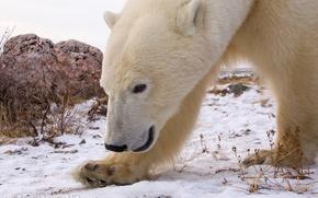 Картинка снег, камень, белый медведь