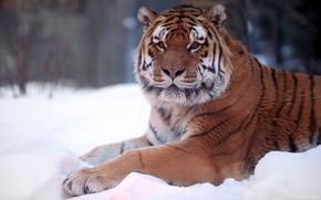 Картинка зима, снег, природа, Тигр