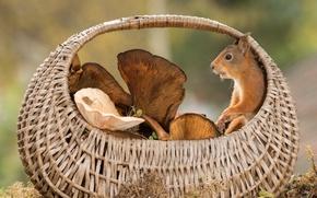 Картинка животное, корзина, грибы, белка, грызун