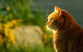 Картинка кот, свет, размытость, рыжий, профиль, сидит