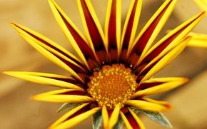 Обои прелесть, ростения, Газания, цветок