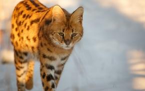 Картинка взгляд, уши, дикая кошка, сервал