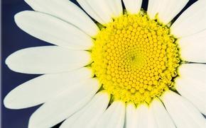 Картинка белый, цветок, макро, желтый, фон, обои, лепестки, ромашка, wallpaper, широкоформатные, flowers, background, macro, полноэкранные, HD …