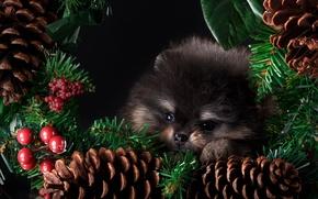 Обои декор, шишки, щенок, новый год, милый, шпиц