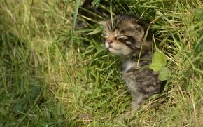 Обои трава, Шотландская лесная кошка, дикая кошка, котёнок