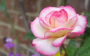 Обои макро, роза, лепестки, бутон, боке