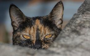 Картинка кошка, глаза, взгляд, ушки, трёхцветная