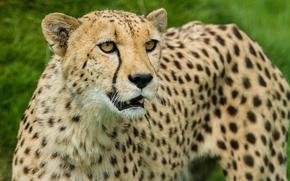 Картинка кошка, взгляд, гепард