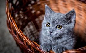 Обои кот, глаза, корзина, котэ, смотрит, котенок, котик, взгляд