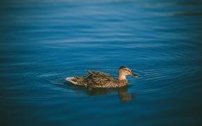 Картинка вода, птица, перья, утка