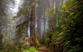 Картинка лес, природа, тропа, папоротники