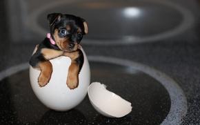 Картинка puppy, digital manipulation, yorkie