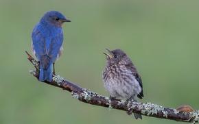 Обои сиалии, птицы, ветка, лазурные птицы, птенец
