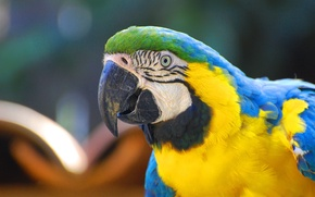 Картинка Blue, Green, Black, White, Yellow, Beak, Eye, Arara, Macaw, Arara-Canindé