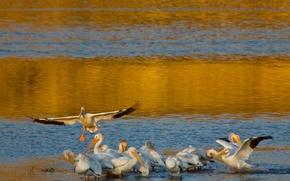 Картинка вода, птицы, берег, крылья, стая, пеликан
