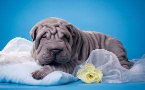 Картинка складки, щенок, цветок, шарпей