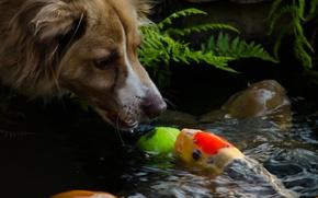 Картинка собака, мордочка, вода, собачка, настроения., рыбка, морда