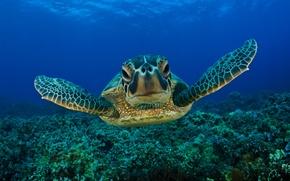 Обои морская черепаха, море, вода, морда, глаза