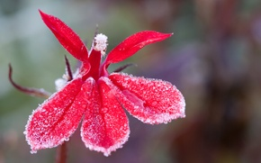Картинка иней, цветок, капли, красный, яркий, фон, лёд, весна, лепестки, размытость, стебель, кристаллы, red, ice, алый, …