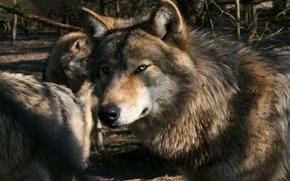 Картинка стая, волки, Gray Wolf