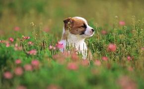 Картинка трава, цветы, собака, щенок, grass, puppy, dog, 1920x1200, flowers
