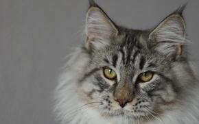 Картинка животные, кот, взгляд, мейнкун