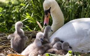 Картинка лебеди, птенцы, материнство, выводок