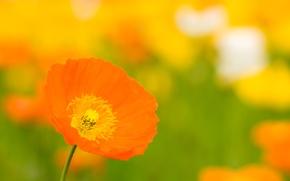 Картинка цветок, лето, макро, оранжевый, желтый, яркий, тепло, поляна, цвет, мак, лепестки, бутон
