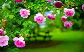 Картинка листья, роза, куст, лепестки, сад