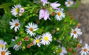 Картинка цветы, ромашки, весна, фиалки