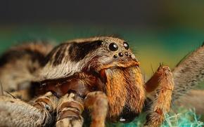 Картинка глаза, паук, смотрит, жвалы