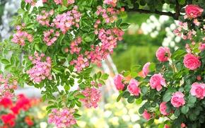 Картинка розовый, розы, красота, сад, шиповник