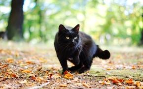 Картинка осень, кошка, кот, листья, черный