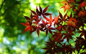 Картинка листики, обои для рабочего стола, широкоформатные обои, широкоэкранные обои, листочек, листочки, листья, дерево, зелень, осень, ...
