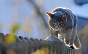 Обои животные, забор, кот идет, кот