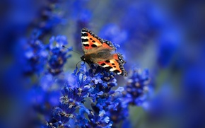 Обои цветы, соцветие, бабочка, крылья