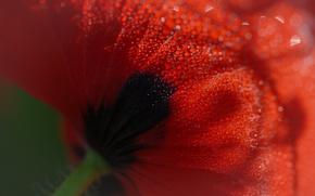 Обои роса, макро, мак, цветок, капли