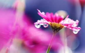 Картинка цветок, капли, яркий, роса, розовый