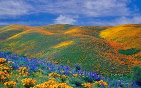 Картинка поле, небо, облака, цветы, холмы, маки, луг